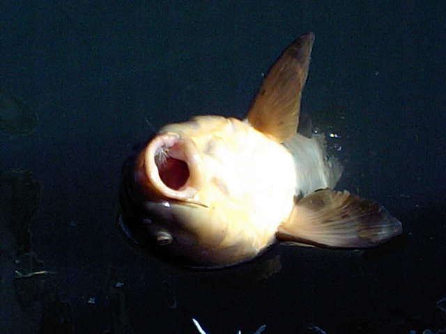ドライde鯉