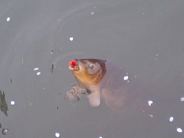 お昼時に鯉釣り