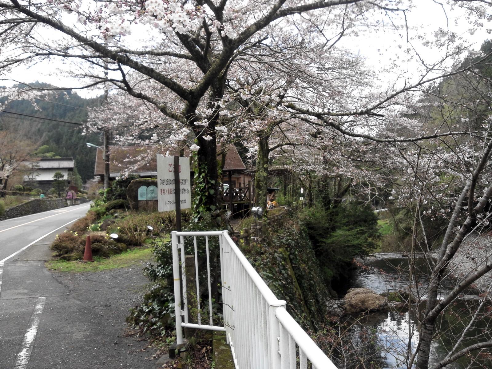 桜満開の養沢で会いましょう!