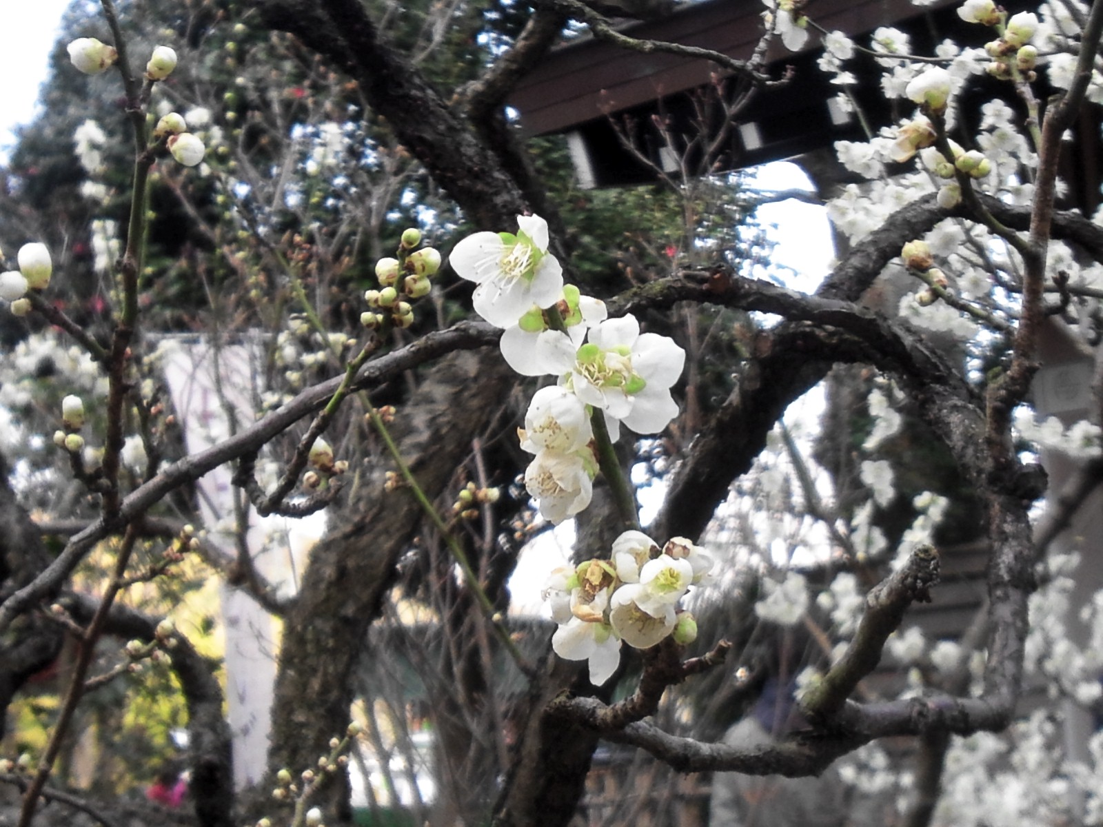 春を探しに鎌倉に
