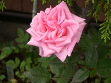 Flower0001